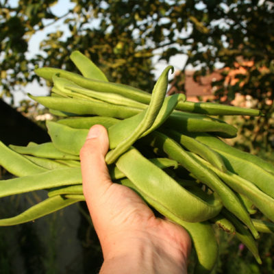 Freshly harvested runner beans - delicious!